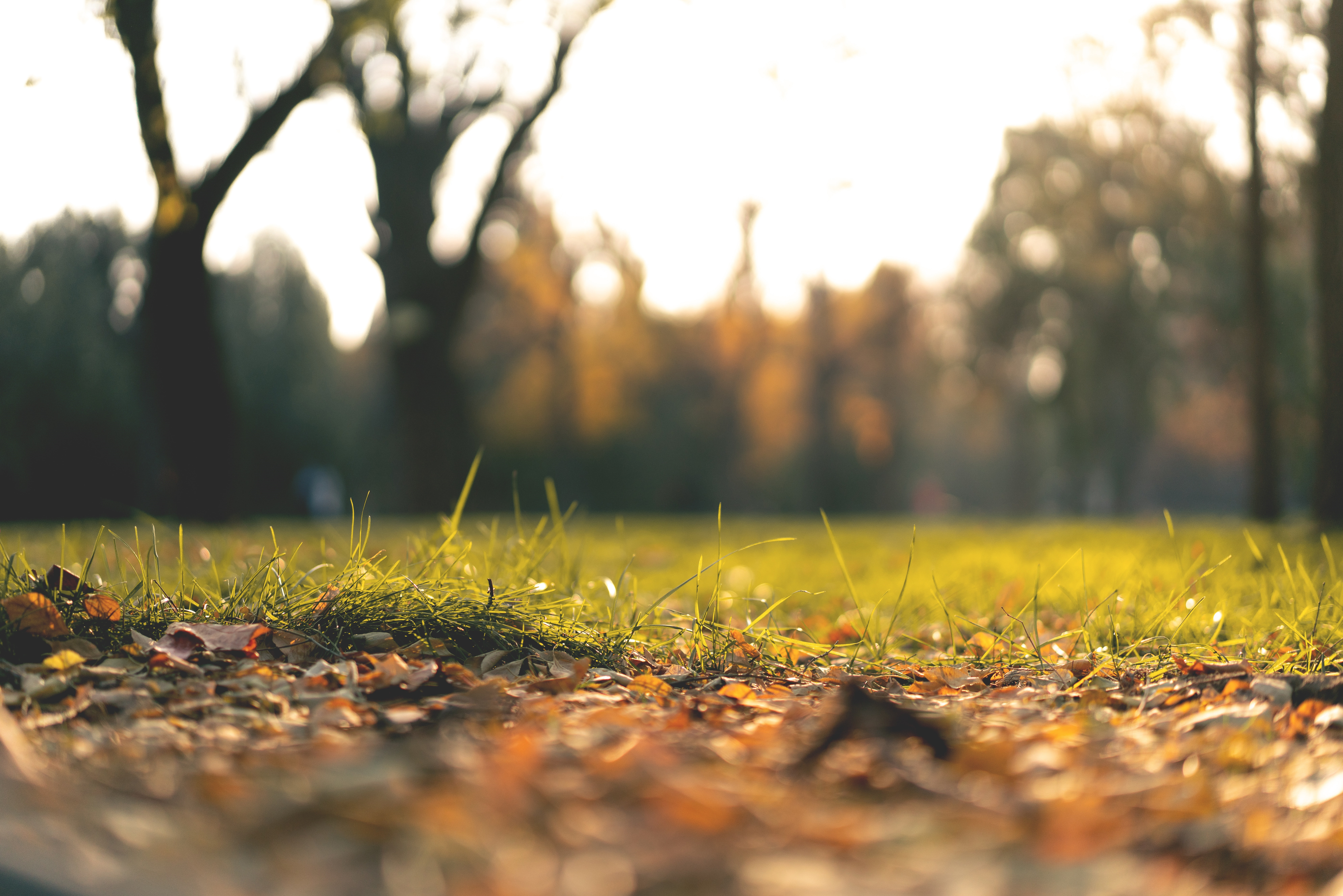 A selective focus image of autumn leaves on a grassy lawn